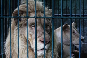 20 Photos: Lions look on from inside a cage during a police raid near Bangkok