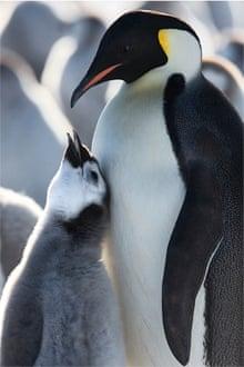 Penguin mother in Antarcica