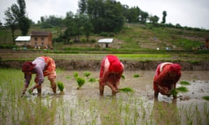 Nepalese farmers plant rice saplings in the paddy fields in Khokana, Lalitpur.