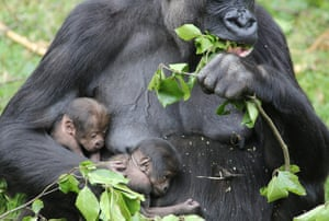 Twin baby gorillas have been born at Burgers' Zoo in Arnhem in the Netherlands. Keepers knew that 20-year-old gorilla N'Gayla was pregnant but they had no idea she was expecting twins.