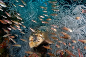 Great Barrier Reef: Cardinalfish zip by a hawksbill turtle as it rests among hydroids