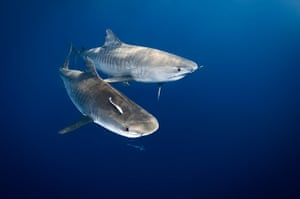 Great Barrier Reef: Tiger sharks patrol in the open blue waters of the Great Barrier Reef