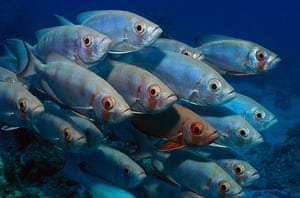 Great Barrier Reef: Crescent-tail Bigeye school, Lizard Island,