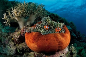 Great Barrier Reef: Clownfish burrow in the tentacles of a magnificent sea anemone
