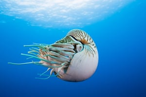 Great Barrier Reef: Chambered Nautilus