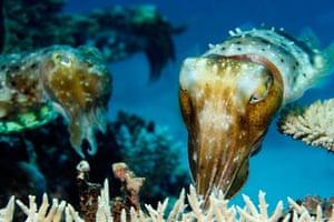 Great Barrier Reef: Broadclub Cuttlefish