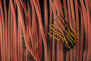 Great Barrier Reef: Feather Star clinging to a Harp Gorgonian , Lizard Island