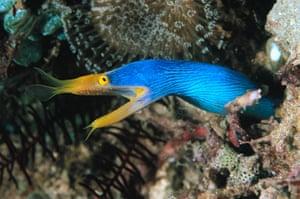 Great Barrier Reef: Ribbon Eel