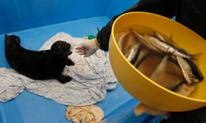 An employee feeds a three-month old Ladoga seal called Mekkerike 4 at a rehabilitation centre for marine mammals in the village of Repino, near St Petersburg.
