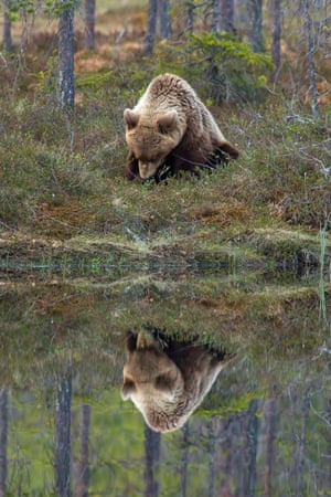 Fancy seeing you here. A brown bear gazes at its own reflection in a river in Kainuu, Finland.