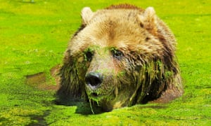 More action from Whipsnade zoo, UK, this time a European Bear cools down in his pond that is covered with pond weed.
