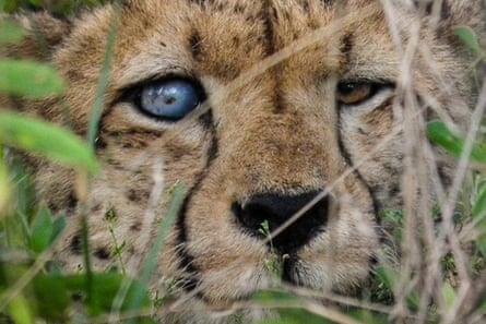 Cheetah, blind in one eye, Namibia