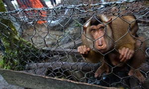 A pigtail Macaque clings the to the wire mesh of its cage in a market in South Aceh, Sumatra, Indonesia. For three years the market has openly traded endangered species including sun bears and pangolins, in conditions so bad that many animals die of neglect. Paul Hilton has been documenting their plight.