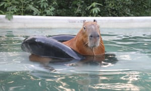 Gary the capybara sitting in a rubber ring at the home of his owner Melanie Typaldos who even lets the giant guinea pig sleep in her bed.