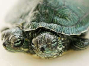 Seeing double: a two-headed terrapin in Qingdao, northern China. Due to the size of the two heads, the turtle can't contract its dual head into the shell, but the two heads can eat together.