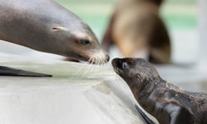 Sealed with a kiss. A young sea lion plays with his mother in their enclosure at the zoo in Munich, Germany. Four young sea lions were born in the May and June at the zoo in Munich which now has 15 sea lions.