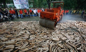 A road roller crushes smuggled elephant tusks, that had been confiscated in Quezon City, Manila Philippines. The government destroyed at least five tonnes of smuggled tusks, making the Philippines the first country in Asia to conduct physical destruction of massive ivory stockpiles in support of government efforts to stamp out illegal wildlife trade.