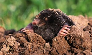 mole looking out of molehill / Talipidae