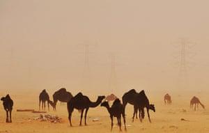 20 Photos: A sand storm envelops camels in the desert region of al-Hasa, Saudi Arabia