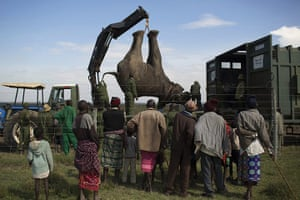 20 Photos: Locals watch as a sedated elephant is placed on a truck in Kenya