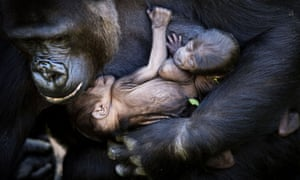 Next up is new born gorilla twins in their mother's arms at the People Zoo in Arnhem, Netherlands.