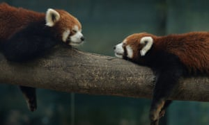It's a hard life for these red pandas as they relax in their enclosure at the Beijing zoo, China.
