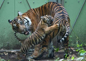 One more cute animal picture of playful three months old Tiger cub called Berani as she plays with her mother Malea inside their compound at Frankfurt Zoo, Germany. Photograph: Arne Dedert/EPA