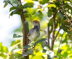 Week in Wildlife: Cambodian tailorbird