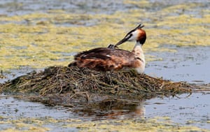 Week in Wildlife: Great crested grebe in Sihwa Lake