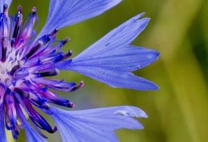 Week in Wildlife: Cornflower