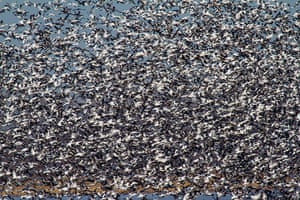 Week in Wildlife: Over 1 Million Snow Geese Migrate To Arctic Tundra
