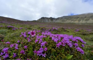 Week in Wildlife: Alpine azalea flowers blossom at a valley of Yadong County, Tibe
