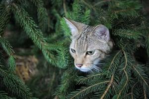 Week in Wildlife: Wildcats reintroduced to the wild