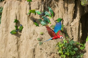 Week in wildlife: Parrots and Macaws at the Clay Lick