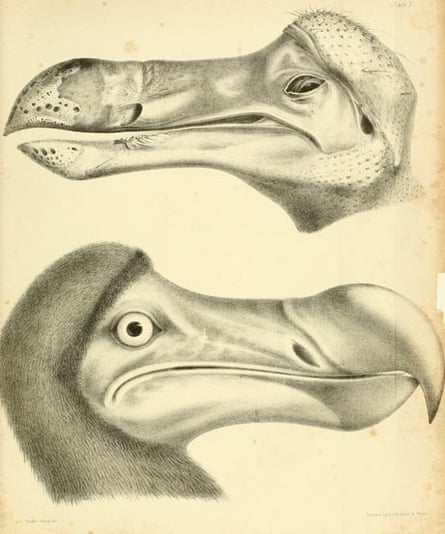 Illustration from Strickland and Melville's 1848 monograph on the dodo