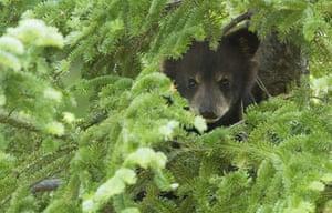 Week in wildlife: American black bear cub hides in a tree at Parc Omega in Quebec