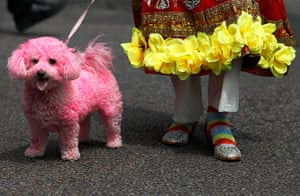 London Pride: A participant poses with a  dog dyed pink