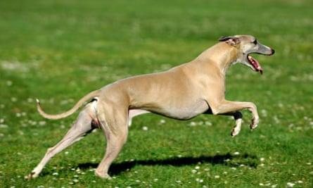 Whippet running.