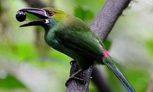 A bird - a crimson rumped Toucanet