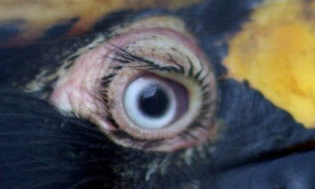 'Eyelashes' on a hornbill. These are in fact short and bristle-like feathers