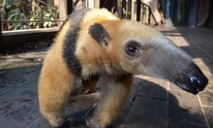Tammy the tree-climbing anteater