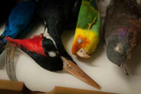 Extinct North American birds: Ivory-billed Woodpecker, Carolina Parakeet, Passenger Pigeon