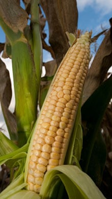 Ripe maize head.