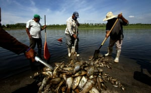 Fishermen collect dead fish piled up in the banks of the lagoon of the Hurtado dam in Acatlan de Juarez, Jalisco state, Mexico. Around 500 tonnes of fish were killed by the spill of molasses from a factory of cattle food upstream into the lagoon
