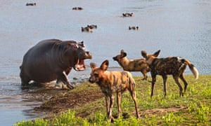 A hungry hippo charges towards hyenas on their patch in South Africa.