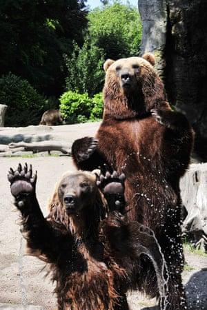 Kamchatka brown bears play catch at Hagenbeck Zoo, Hamburg, Germany.