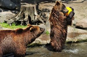 Fur ball: The brown bear catching the ball.