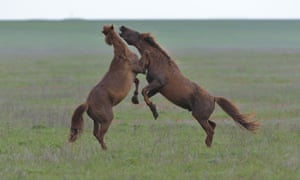 Two wild stallions fighting on Vodny Island in at the Rostov Nature Reserve, Russia.