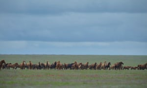A herd of wild horses on Vodny Island. The Manuch mustangs were cut off from the mainland when a canal was built in 1953.