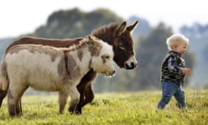 Hee-awww! Miniature donkeys, standing less than 76cm tall, are photographed at the Amelia Rise Donkey centre in Yea, Australia. According to breeder Deb Hanton the micro donkeys are swiftly growing in popularity as lovable pets.